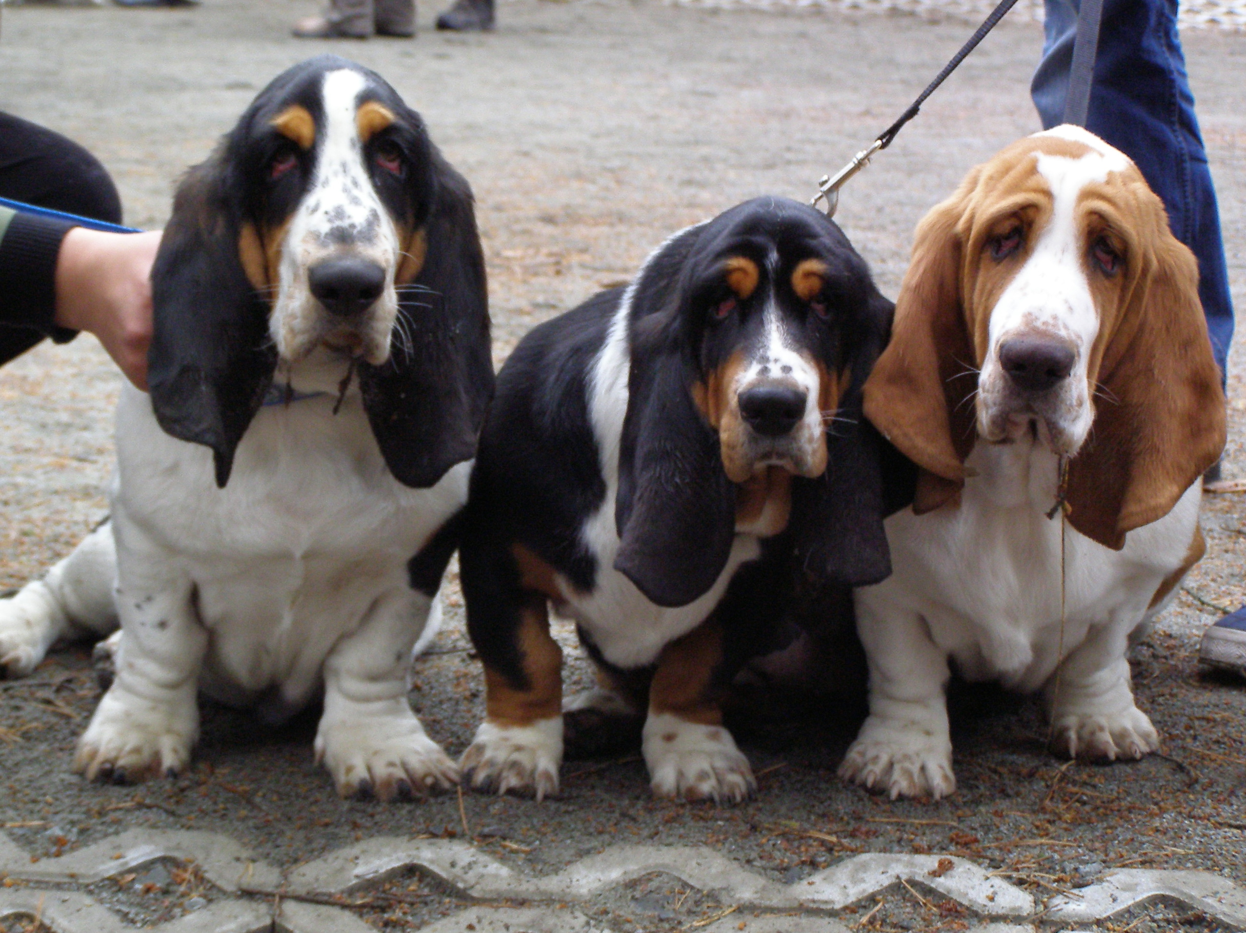 three basset hounds
