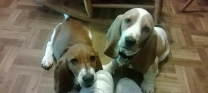 Basset hound puppies!