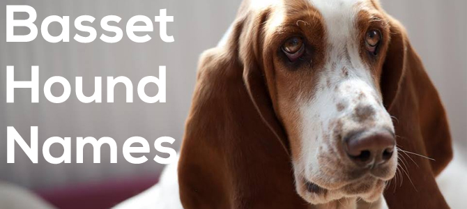 Choosing Basset Hound Names