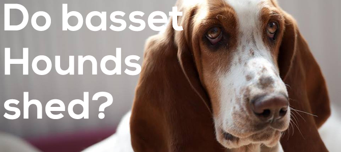 Do basset hounds shed?