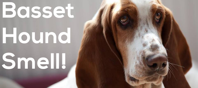 Basset Hound smell – how to solve it!