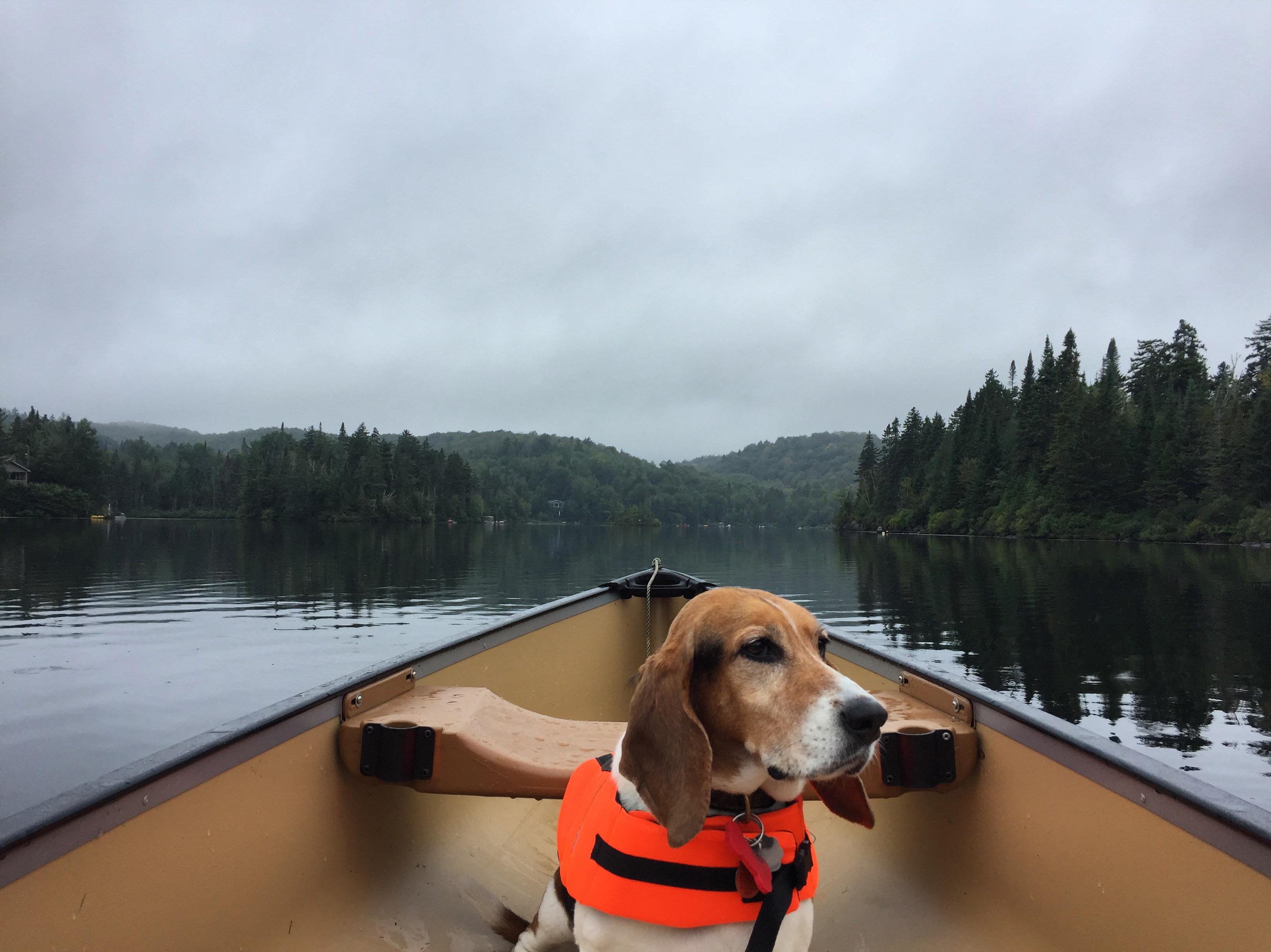 basset hound picture
